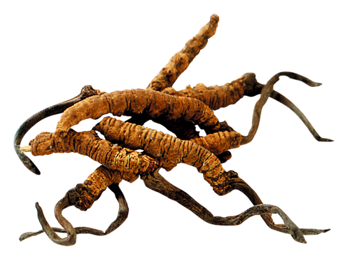 Coriolus Versicolor, Cordyceps, Reishi, Trametes, Shiitake, Maitake